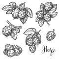Hops plant cones sketch, beer brewing ingredient Royalty Free Stock Photo