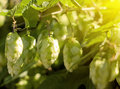 Hops plants at dawn Royalty Free Stock Images