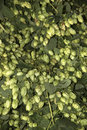 Hops used in beer making a hop garden at sandhurst kent england uk Royalty Free Stock Photo