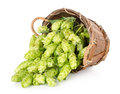 Hops in a wooden basket Royalty Free Stock Photo