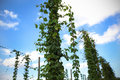 Hops yard with plant climbing the wire Royalty Free Stock Images