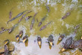 Horde of crocodiles in the water with opened jaws Royalty Free Stock Photography