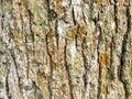 horizontal background - bark of old oak tree Royalty Free Stock Photo
