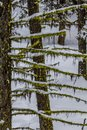 Horizontal branches with moss hanging below and snow on top Royalty Free Stock Photo