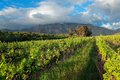 Horizontal de vignoble Photo stock
