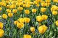 Horizontal photo of big flowers of yellow tulips and small flowers of Myosostis Royalty Free Stock Photo