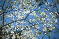 White Dogwood Blooms and Blue Sky Royalty Free Stock Photo