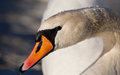 Horizontal portrait of a mute swan Royalty Free Stock Photography