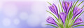 Horizontal spring banner with purple crocus flower Royalty Free Stock Photo