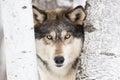 Horizontal timber wolf portrait Royalty Free Stock Photo