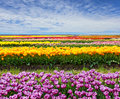 Horizontal Tulip Field Stock Photos