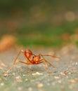 Hormiga roja Imagenes de archivo