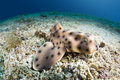 Horn shark a juvenile rests motionless on the bottom of the sea floor Stock Photos
