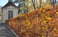 Hornbeam hedge golden foliage in an alley Stock Photography
