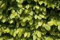 Hornbeam leaves Royalty Free Stock Photos