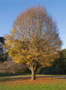 Hornbeam Tree in Autumn Stock Image
