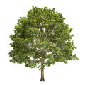 Hornbeam tree isolated on white Royalty Free Stock Photos