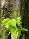 Hornbeam tree sapling young growing from the wood Stock Photo