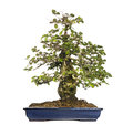 Hornbeams bonsai tree carpinus isolated on white Royalty Free Stock Photos