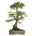 Hornbeams bonsai tree carpinus isolated on white Royalty Free Stock Image