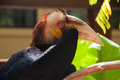 Hornbill bird with big beak exotic great closeup portrait in indonesia Stock Image