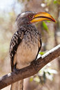 Hornbill bird in south aAfrica sitting in a tree Stock Photos