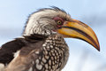 Hornbill bird in South Africa isolated on blue sky Stock Photo