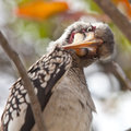 Hornbill bird in South Africa  looking curious Royalty Free Stock Photography