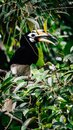 stock image of  Hornbill
