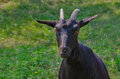 Horned, black  goat Royalty Free Stock Photo