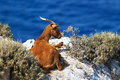 Horned brown goat Royalty Free Stock Photo