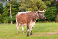Horned Cow in field Stock Photo