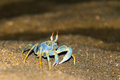 The horned ghost crab Royalty Free Stock Photo