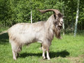 Horned goat outdoors Royalty Free Stock Photo