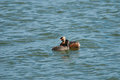 Horned grebe with a chick an offspring on the lake Royalty Free Stock Photos