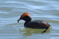 Horned grebe with prey caddisfly larvae close up Stock Photography