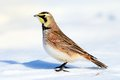 Horned lark a standing in a snow covered field with a white background Stock Photography