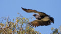 Horned Screamer in flight Stock Photos