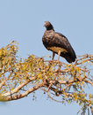 Horned Screamer on tree Royalty Free Stock Photo