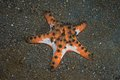 Horned sea star protoreaster nodosus on sandy bottom Stock Images