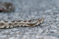 Horned viper on the road a vipera ammodytes venomous snake crawling head close up Stock Image