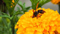 Hornet eat their food on yellow flower Royalty Free Stock Photo