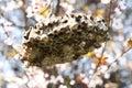 Hornet nest Royalty Free Stock Photo