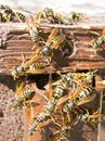 Hornet nest and fuzzy hornets Royalty Free Stock Photo