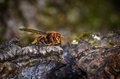 Hornet in tepid position hornisse lauert auf opfer Royalty Free Stock Photos