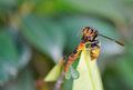Hornet on treetop Royalty Free Stock Photo