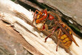 Hornet (Vespa crabro) Royalty Free Stock Photo
