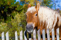 Horse against old wooden fence background head of brown with white mane visible broadleaved trees Stock Photography