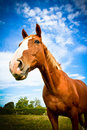 Horse angled body portrait with blue skies a beautiful of a in summer Stock Photos