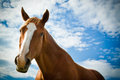 Horse angled portrait with blue skies a beautiful of a in summer Royalty Free Stock Photo